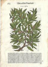Stampa antica ERBARIO MATTIOLI MATTHIOLI LECCIO botanica 1568 Antique print