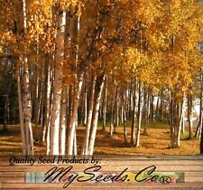 (100) Paper Birch Tree Seeds - Betula papyrifera - FAST GROWTH - Comb. S&H