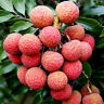 Lychee Seeds Fruit Tree Seed Home Garden Delicious Lychee Bonsai Seed Succulent