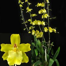 ODONTOCIDIUM SUNLIGHT 'HILO HONEY' seedling orchid plant in 80mm pot