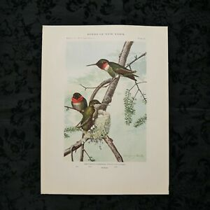 Antique 1915 Louis Agassiz Fuertes Print Plate# 66 Ruby-Throated Hummingbird