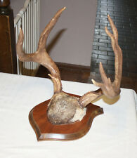 Authentic Whitetail Deer Rack Antlers Taxidermy