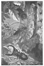 ANIMALS. Coleoptera 1907 old antique vintage print picture