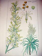 DIETRICH D. Nathaniel  Friedrich Flora Universalis 1831-1861 CORDYLINE Botanica