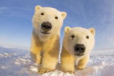 Ansichtskarte: Die wollen nur spielen - Eisbären - Babys - Polar Bear cubs