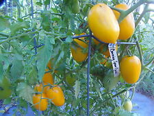 Burning Spear - rare and striking golden tomato with fine flavor and production
