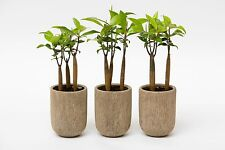 *25 ORIENTAL MANGROVE PLANTS or SEEDS*BRUGUIERA SEXANGULA*aquarium*FRESH WATER*