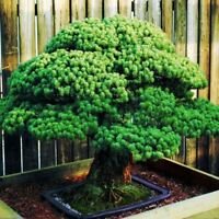50 pcs Japanese White Spruce Pine Pinus parviflora Tree Seeds Bonsai Evergreen D