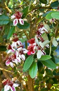 Pineapple Guava Feijoa sellowiana Seedling Starter Plant Cold Hardy Edible