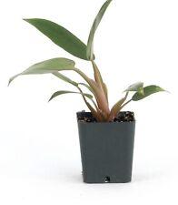Philodendron Pin Cushion Super Rare Mini Aroid Terrarium Healthy