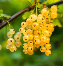 2 CURRANT PLANTS ; White Imperial / Grown Chemical Free GMO Free