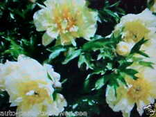 "LARGE COLOR ""YELLOW SUNSHINE"" TREE PEONY FLOWER SEEDS  U.S.A. TEXAS SHIPPED item"