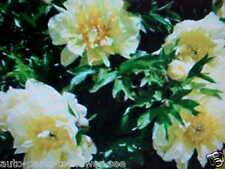 "LARGE COLOR ""YELLOW SUNSHINE"" TREE PEONY FLOWER SEEDS  U.S.A. TEXAS SHIPPED item"