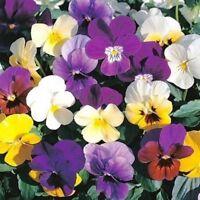 Pansy (Viola Wittrockiana Swiss Giant Velvet Mix)- 50 Seeds