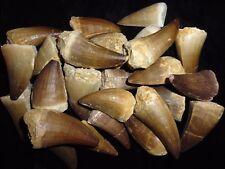 One HUGE Mosasaur Dinosaur tooth fossil Khouribga Morocco fossilized Mosasaurus