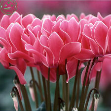 5 Cyclamen Flower Seeds Lovely Perennial Flowering Plants garden decoration