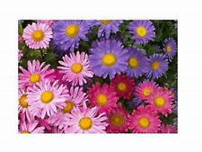 """200 x Swan River Daisey or """"BRACHYCOME""""    Plus FREE GIFT"""