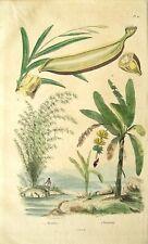 Antique Banana and Bamboo Print:  Hand Colored Engraving: E.Guerin: Paris, 1836