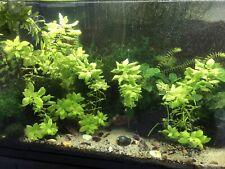 Aquatic Plant 4 Pack -Water Wisteria, Java Moss, Freshwater Seaweed, & Hornwort
