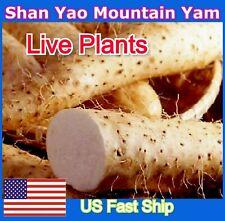 Chinese Yam Cinnamon Vine Shan Yao Dioscorea Opposita Tincture 3 Live Plants Usa