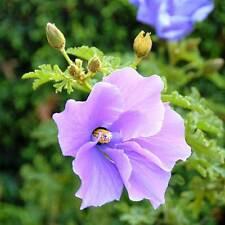 ALYOGYNE huegelii Purple Hibiscus Seeds (N 70)