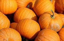 Jack O Lantern Pumpkin Seeds 10+ Vegetable Garden NON-GMO USA FREE SHIPPING