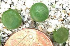 Mesemb Plant--Conophytum pellucidum /'pardicolor/' Kweekfontein- ONE 2+Yr Sdlg!