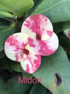 Midori Euphorbia Milii Thai Hybrid/ Crown Of Thorns Plant