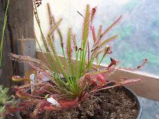 Drosera capensis fácil de cultivar plantas carnívoras Living