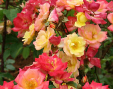 Rose Bare Root Plant 'Masquerade' Floribunda Double Red Yellow Pink