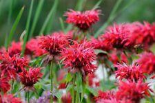 Monarda 'Cambridge Scarlet' - Bergamot 9cm pot, bronze green leaves red flower