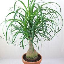 Ponytail Palm    (Beaucarnea Recurvata) 10 Fresh Seeds