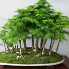 20pc Green Greeting Pine Juniper Japanese Cedar Semillas Bonsai Plant Seed hot