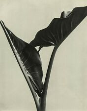IMOGEN CUNNINGHAM - Cala Leaves, 1932 - Photo Litho