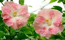 * Daddy'S Angel * Rooted Tropical Hibiscus Plant*Ships In Pot*