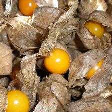 BF024 Cape Gooseberry Dwarf Golden Berry x20 seeds Healthy Fruit Vitamins Garden