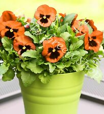 Pensamiento naranja seeds-Swiss pensamiento-viola wittrockiana - 550 Semillas-Flor De Gran Tamaño