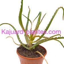 Aloe Arborescens, Corne de Belier, Aloe medicinal, recette du père Romano Zago