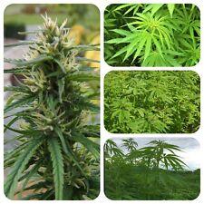 Hanf Cannabis sativa Nutzhanf Faserhanf Tierfutter Vogelfutter THC-frei Hanföl