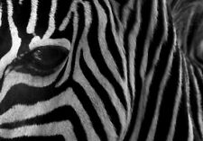 AFRICAN ZEBRA EYE  *  QUALITY CANVAS PRINT