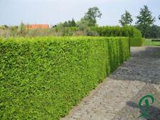 Thuja Brabant 140-160 cm Pflanzenhöhe inkl. Versand 20 x Thuja 322,- Euro.