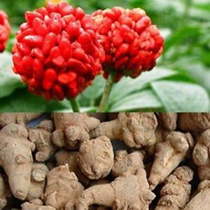Panax Notoginseng 20 PCS Seeds Herb Useful Organic Home Garden Potten Plants NEW