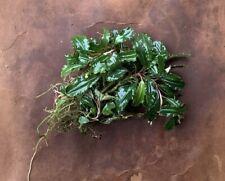 "Live Aquatic Plant | Bucephalandra sp. ""Super Brownie"" | 3"" portion"