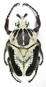 Cetoniinae Goliathus regius 97mm. large male