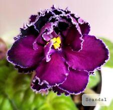 African Violet Scandal - Starter Plant/Plug