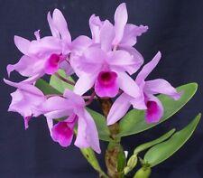 Rare orchid species seedling plant - Cattleya Deckeri