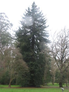 Sequoia sempervirens - Coast Redwood - Californian Redwood- 250+ or 500+ seeds
