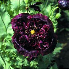 Kings Seeds - Papaver (Poppy) Paeoniflorum Black Beauty - 150 Seeds