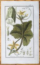 ZORN Rare Colored Print Cucumber Cucumis sativus - 1796