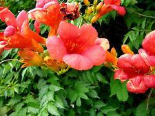 Trumpet-Hummingbird Vine 1-live Seedling Vine Campsis radicans
